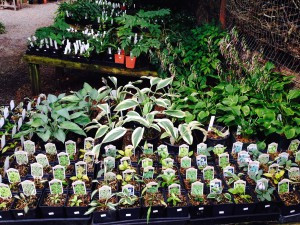 Mini-Hostas in the nursery