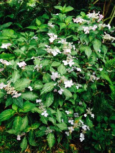 Hydrangea serrata O-amacha-nishiki