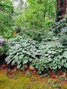 Hostas as a ground cover