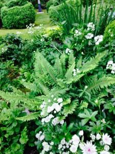 Polysticum setiferum Divisilobum Group