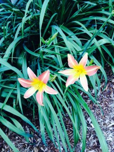 Hemerocallis sp.