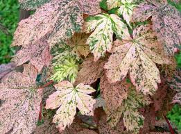 Acer pseudoplatinus 'Esk Sunset'