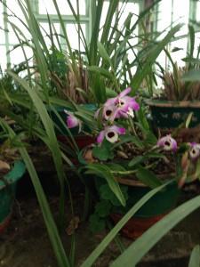 Dendrobium nobile - Sikkim state flower