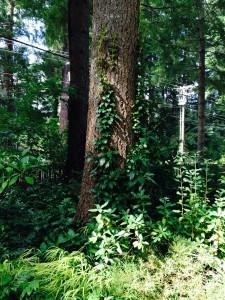 Hydrangea seemanii - evergreen climbing hydrangea