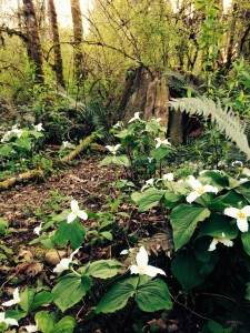 Trillium ovatum in the woods at Old Goat Farm