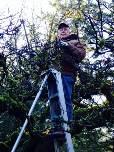 pruning 80 year old apple trees