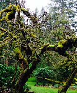 moss in old apple trees