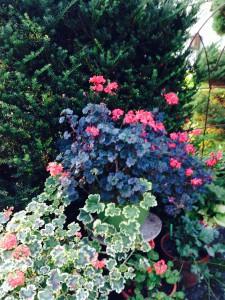 Geranium 'Dorcus' and Geranium 'Ms. Polluck'