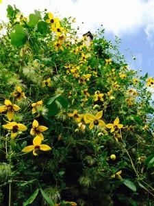 Clematis tibetana ssp. tangutica