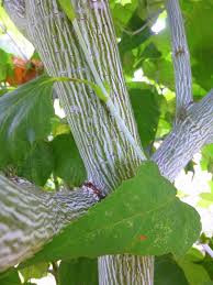 Acer tegmentosum 'Joe Witt' bark