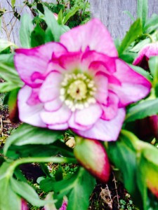 Helleborus x hybridus - pink and white double