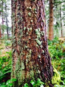 Lichen on the bark of a Douglas Fir - Pseudotsuga menziesii