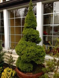 Alberta spruce topiary