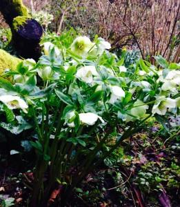 Helleborus x hybridus - green/white