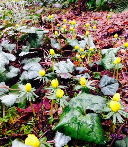 Eranthis and cyclamen