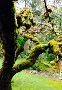 moss on apple trees