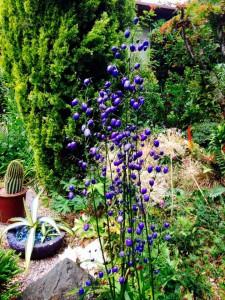 Dianella in Daniel Sparler's Garden