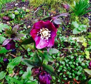 Helleborus x hybridus seedlings