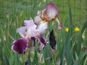 Iris 'Latin Lover'