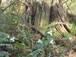 Trillium ovatum in the woods at Old goat Farm