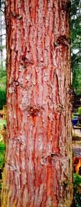 Western Red Cedar - Thuja plicata