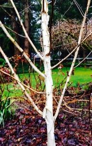 White-barked Himalayan Birch - Betula utilis var. jacquemontii