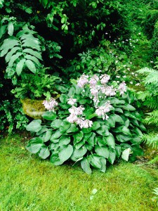 Hosta 'Angel'
