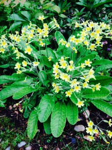 Old Fashion Yellow Primrose