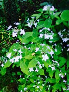 Hydrangeas serrata 'Midoriboshi-Temari' bloom