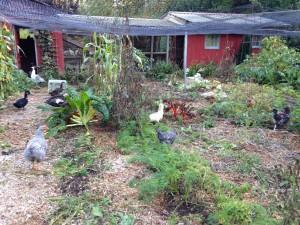 The birds working the veggie garden