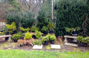 Dwarf conifers in the nursery