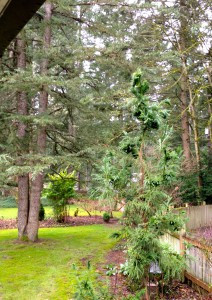 Fasciated Cryptomeria