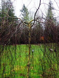 Weeping Silver Birch - Betula pendula