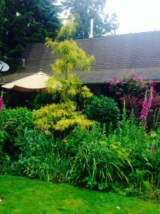 Yellow conifer and umbrella contrasting with purple blooms