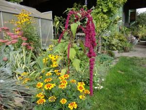 Amaranthus and Marigold