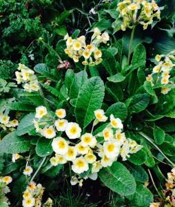Primula polyanthus