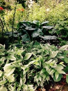 Disporum variegatum