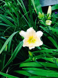 Hemerocallis 'Ferry Rings'