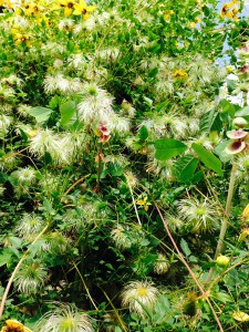 Clematis tibetana ssp. tangutica seed-heads