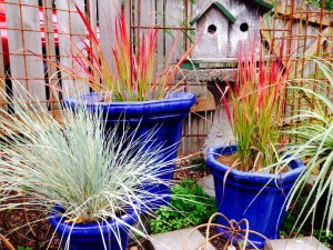 Blue Oat Grass and Japanese Blood grass
