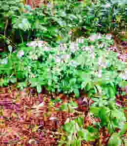 Anemone quincifolia