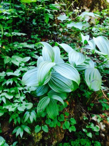 Veratrum viride - Green False Hellebore