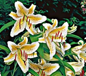 Orienpet lily - Lilium 'Gold Band'