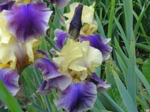 Iris 'May Time'