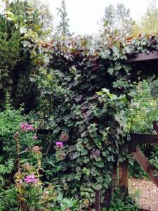 Vitis viniflora atropurpurea