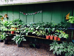 Hostas in the nursery