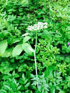 Heracleum lanateum - Cow parsnip