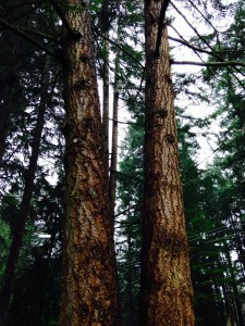trunks of Douglas Fir - Pseudotsuga menziesii