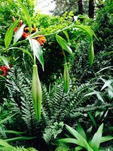 Lilium nepalense buds