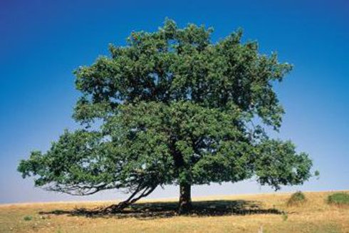 Bur Oak (Large Tube)
